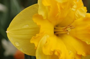 Yellow_Daffodil_Narcissus_Closeup_3008px