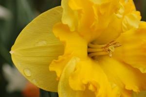 Yellow_Daffodil_Narcissus_Closeup_3008px