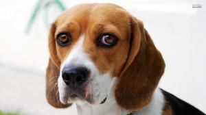 beagle-17943-1920x1080