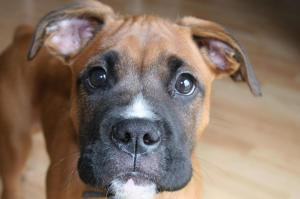 Ceaser_boxer_pup