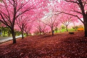 cherry-blossoms-sakura-spring3