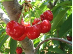 fruit tree with cherry berries pictures