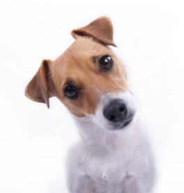 questioning-terrier