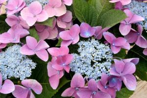 pink-hydrangeas
