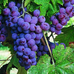 grapes-vine-m-m