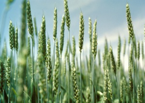 cr121102_wheat