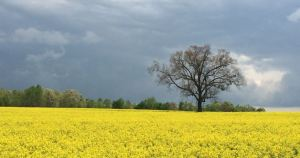canola field on Hams Grove